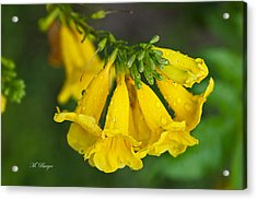 Esperanza - Yellow Bells Acrylic Print by Marlena  Burger