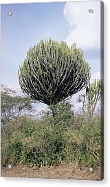 Euphorbia Candelabrum Acrylic Print by Adrian T Sumner