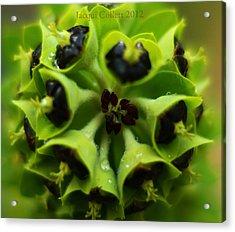Euphorbia Acrylic Print by Jacqui Collett