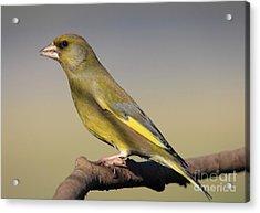 European Greenfinch Acrylic Print