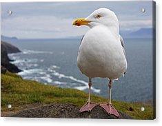 European Herring Gull Larus Argentatus Acrylic Print by Trish Punch
