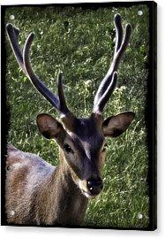 European Red Deer 0834 Acrylic Print