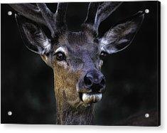 European Red Deer 2990 Acrylic Print