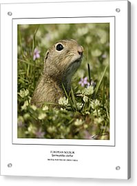 European Souslik Acrylic Print by Owen Bell