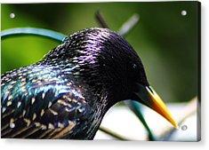 European Starling 2 Acrylic Print