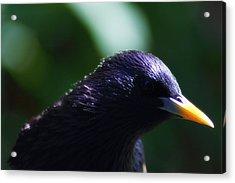 European Starling Acrylic Print by Scott Hovind