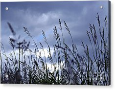 Evening Grass Acrylic Print by Elena Elisseeva