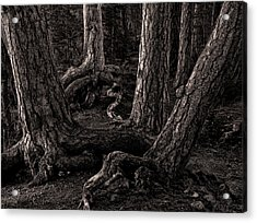 Evening Pines Acrylic Print