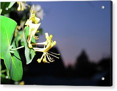Evening Sonata. Perfoliata Acrylic Print