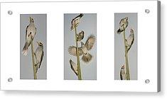 Evening Song Birds Trio Acrylic Print