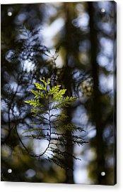 Evergreen Light Acrylic Print by Mike Reid