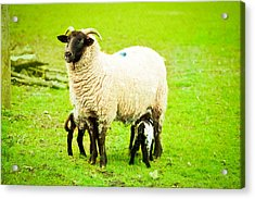 Ewe And Lambs Acrylic Print by Tom Gowanlock