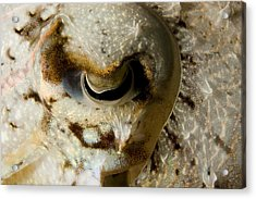 Eye Detail Of A Cuttlefish Sepia Acrylic Print by Tim Laman