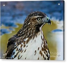 Acrylic Print featuring the photograph Eye Of The Hawk by Mitch Shindelbower
