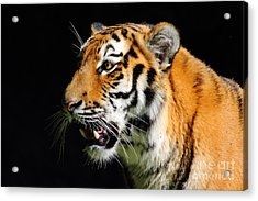 Eye Of The Tiger Acrylic Print by Holger Ostwald