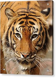 Acrylic Print featuring the photograph Eye Of The Tiger by Renee Hardison