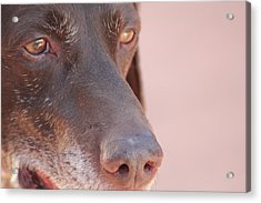 Acrylic Print featuring the photograph Eyes Of The Hound by Carolina Liechtenstein
