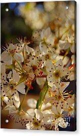 Faded Blossom Acrylic Print