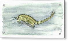 Fairy Shrimp, Artwork Acrylic Print