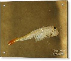 Fairy Shrimp Thamnocephalus Platyrus Acrylic Print