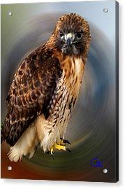 Falco 2 Tinnunculus Vf Acrylic Print by Colette V Hera  Guggenheim