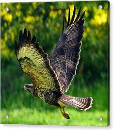 Falcon In Flight Acrylic Print