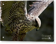 Falcon Taking Off Acrylic Print by Pravine Chester