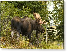 Fall Bull Moose Acrylic Print by Doug Lloyd