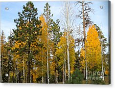Fall Colors Aspen Acrylic Print by Pamela Walrath