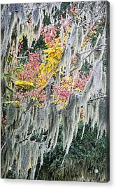 Fall Colors In Spanish Moss Acrylic Print by Carolyn Marshall