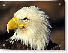 Fall Eagle 6 Acrylic Print by Marty Koch