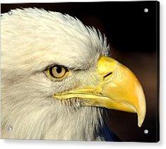 Fall Eagle  Acrylic Print by Marty Koch