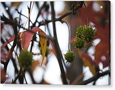 Fall Seeds Acrylic Print by Lisa Missenda