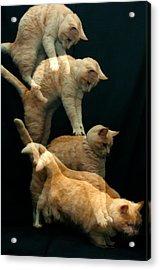 Falling Cat Acrylic Print