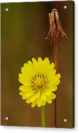 False Dandelion Flower With Wilted Fruit Acrylic Print