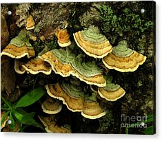 False Turkeytail Acrylic Print
