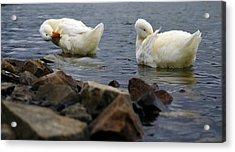 Fancy Feathers Acrylic Print by Brian Stevens