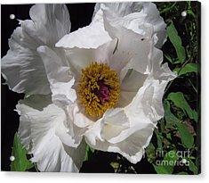 Fancy White Acrylic Print