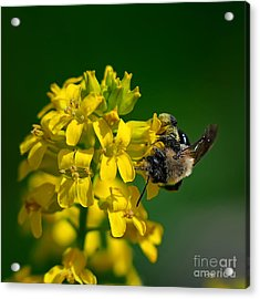 Fanfare For The Common Bumblebee Acrylic Print by Lois Bryan