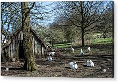 Farmyard Geese Acrylic Print by Dawn OConnor