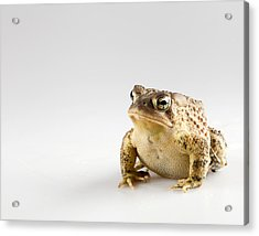 Fat Toad Acrylic Print by John Crothers