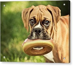 Fawn Boxer Puppy Acrylic Print by Jody Trappe Photography