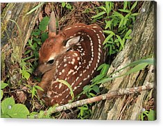 Acrylic Print featuring the photograph Fawn by Doug McPherson