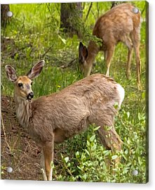 Fawn Having Lunch Acrylic Print