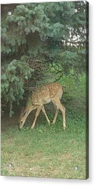 Fawn Acrylic Print by Leslie Manley