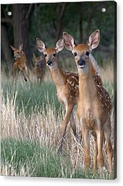 Fawns Fawns Acrylic Print by Bill Stephens