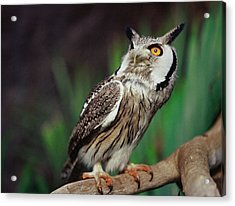 Fearful Owl Acrylic Print by Miguel Capelo