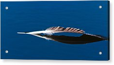 Feather Acrylic Print by Mitch Shindelbower