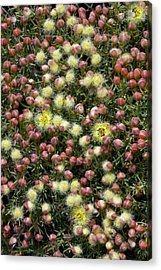 Featherflower (verticordia Brachypoda) Acrylic Print by Bob Gibbons