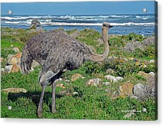 Feathers By The Sea Wild Female E African Ostrich Southern Race Cape Of Good Hope South Africa Acrylic Print by Jonathan Whichard